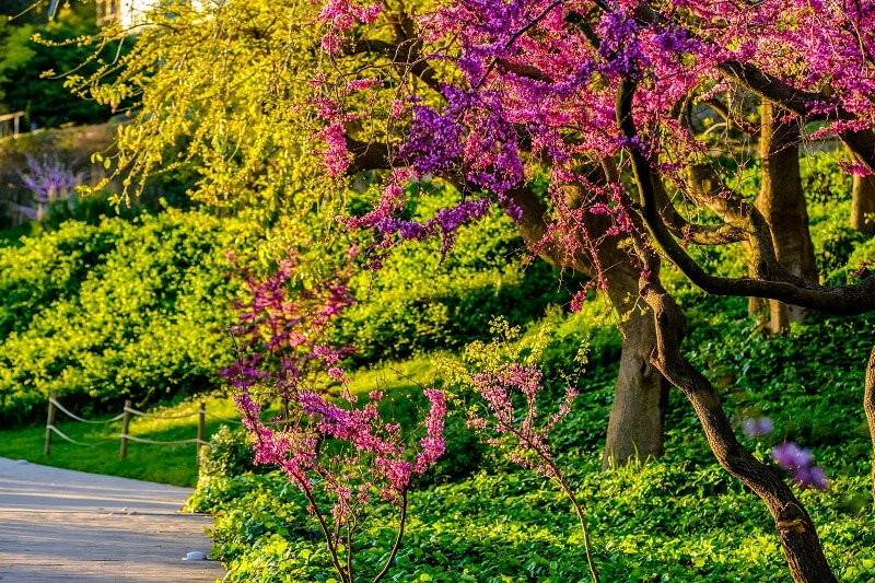 Blossoming Peach Tree at Montjuic in Spring Day