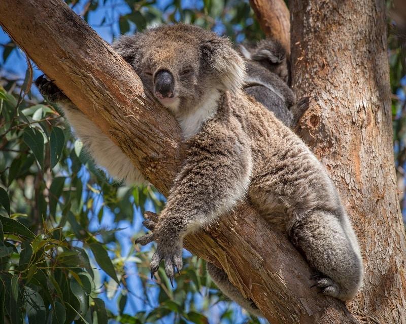 Koala in Tree, Australia
