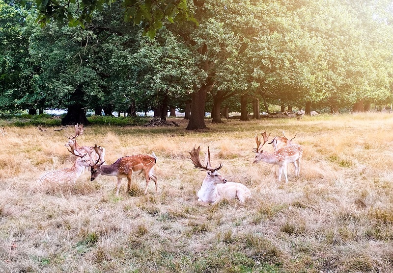 Deers in the Richmond Park Forest