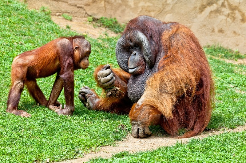Orangutan of Borneo